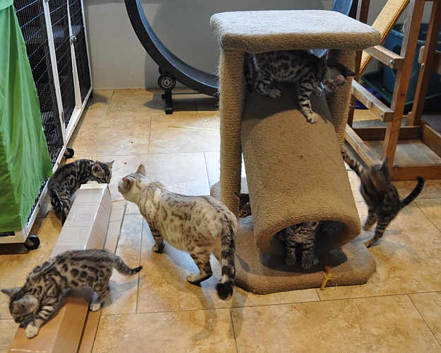 Bengal kittens and cats for sale San Diego
