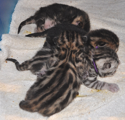 new litter Bengal kittens for sale San Diego