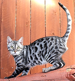 Bengal kittens and cats for sale San Diego CA