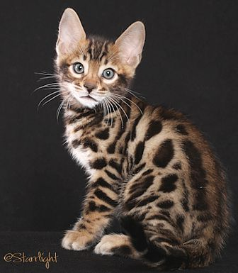 A Bengal Cats Personality San Diego Bengal Cats