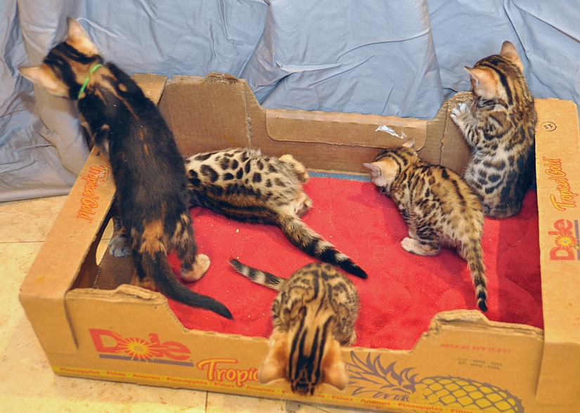 Bengal kittens for sale, San Diego, CA