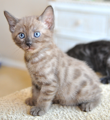 Bengal kittens for sale San Diego, CA
