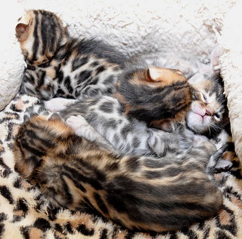 Bengal kittensand cats for sale San Diego, CA