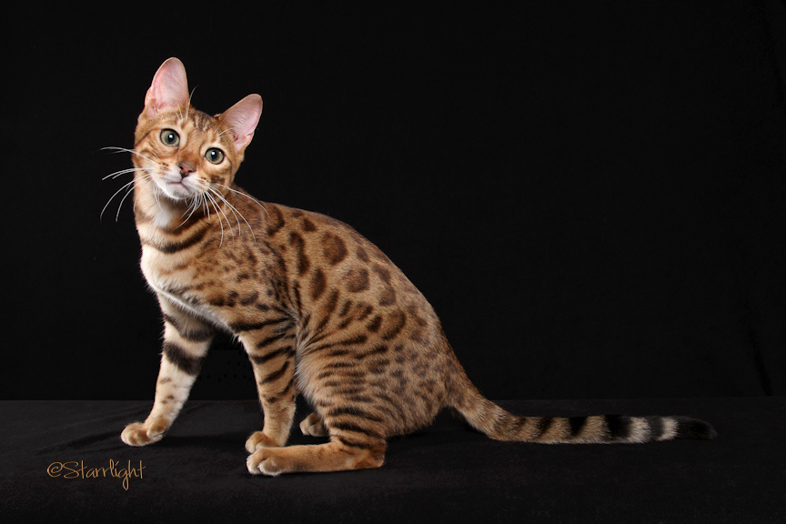 Bengal cats for sale san diego : Things to do at seal beach