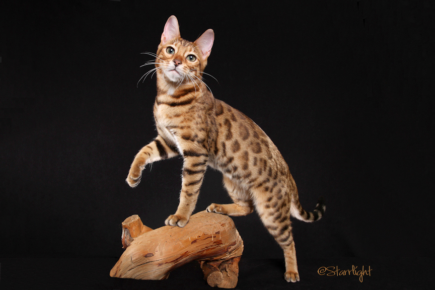 Bengal Cats San Diego For Sale