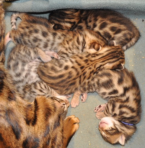 Bengal kittens for sale San Diego