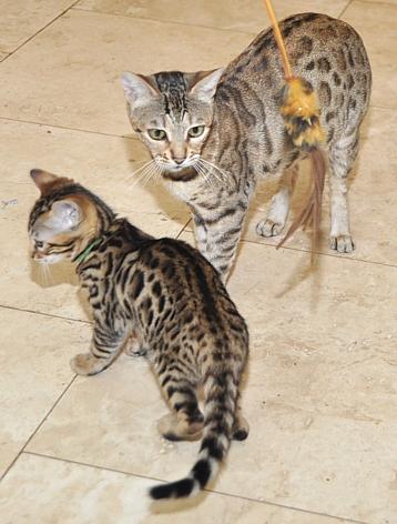 Bengal Kittens Penasquitos Cattery