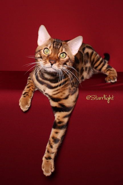San Diego Bengal Cattery - Gary & Suzanne Colby