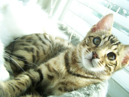 Bengal cats and kittens for sale San Diego California CA