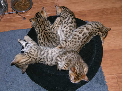 Bengal kittens for sale - we ship