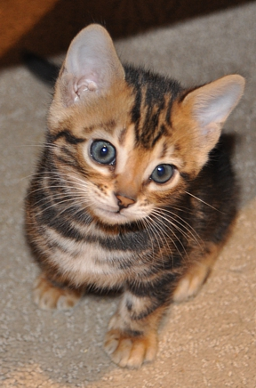 Bengal cats and kittens for sale San Diego, CA