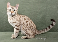bengal cats and kittens for sale san diego